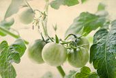 Bunches Of Green Tomatoes