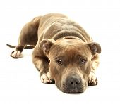 picture of american staffordshire terrier  - American Staffordshire Terrier isolated on white - JPG