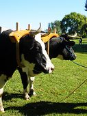 stock photo of yoke  - team of oxen yoked and ready to worked together - JPG