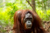 pic of orangutan  - Beautiful wild orangutan in Borneo forest Indonesia ** Note: Visible grain at 100%, best at smaller sizes ** Note: Soft Focus at 100%, best at smaller sizes - JPG