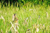 foto of wild-rabbit  - Wild rabbit in nature hiding in the grass - JPG