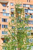 picture of birching  - green birch tree and brick apartment house on background in spring - JPG