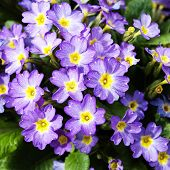 picture of primrose  - Thickets of flowering lilac inflorescences primrose in spring - JPG
