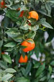 picture of tangerine-tree  - tangerines on a tree branch - JPG