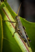 image of hopper  - macro close up of a grass hopper - JPG