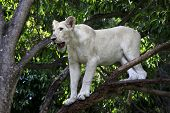 image of mauritius  - Young wild white lion high on the tree - JPG