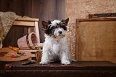 picture of yorkshire terrier  - Studio portrait puppy Biewer Yorkshire terrier color background - JPG