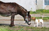 image of donkey  - bright picture amusing donkey and dog sunny day - JPG