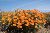 picture of antelope  - Antelope Valley Poppy Reserve in California photo taken in spring time - JPG