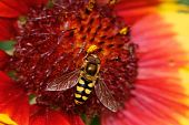 Hoverfly On A Red Flower
