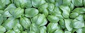 picture of basil leaves  - background of green fresh leaves Basil in the garden - JPG