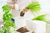 stock photo of oregano  - Young woman is planting basil chives and oregano - JPG
