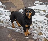 stock photo of homeless  - Homeless dachshund is looking for food in winter - JPG