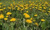 foto of meadows  - Yellow dandelions in the meadow - JPG