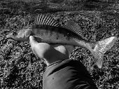 foto of caught  - Freshly caught zander in the hands of the fisherman - JPG