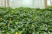 stock photo of tomato plant  - Flowering tomato seedlings in the spring film greenhouses before planting into the soil - JPG