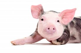 foto of pig  - Portrait of the charming little pig closeup isolated on white background - JPG