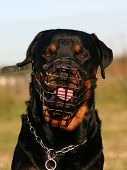 Rottweiler And Muzzle