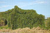 stock photo of kudzu  - kudzu has taken over the power lines and poles - JPG