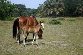 Wild Horse And Colt