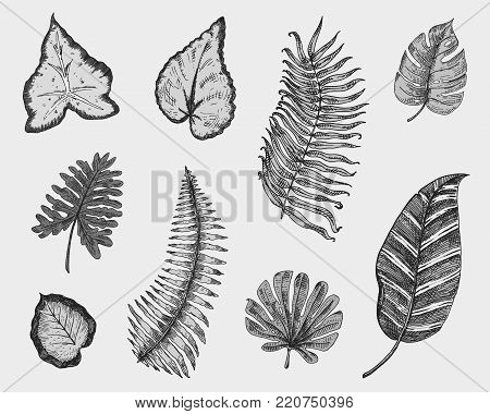 poster of tropical or exotic leaves, leaf of different vintage looking plants. monstera and fern, palm with banana botany set. flowers engraved vintage, hand drawn. botanical organic product. green background