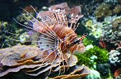 stock photo of coral reefs  - The Red lionfish (Pterois volitans) in a water