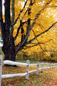 Autumn Foliage With White Fence
