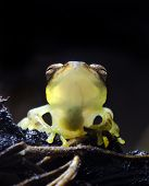 image of glass frog  - A tiny glass frog  - JPG