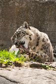stock photo of snow-leopard  - The snow leopard washes after a dinner - JPG