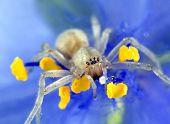 Aranha amarela do Sac