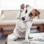 Dog at home. Pet indoors. Puppy greeting, paw up poster