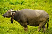 Thai buffalo in the field