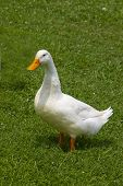 Single White Duck