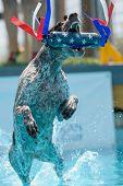 German Shorthair Pointer Breed Dog Dock Diving poster