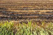 burnt rice field