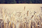 Ears Of Wheat.  Golden Wheat Field And Sunny Day poster