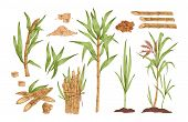 Sugarcane Hand Drawn Vector Illustrations Set. Growing Tree Sprout With Leaves And Stem. Sugar Cane  poster