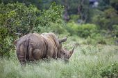 Southern White Rhinoceros Rear View In Green Savannah In Kruger National Park, South Africa ; Specie poster