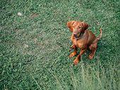 Hungarian vizsla. Young Hungarian pointer dog outdoor. poster