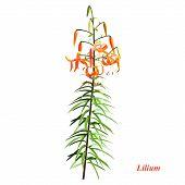 The Unique Lilium