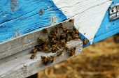 Bees At Old Hive Entrance. Bees Are Returning From Honey Collection poster