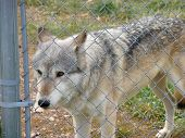 An image of a wolf behind a fence poster