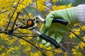 Pruning shrub