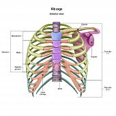 Bones Of The Human Chest. Rib Cage Bones With The Name And Description Of All Sites. Anterior View.  poster