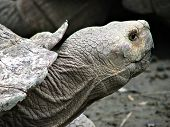 African Giant Horned Tortoise