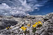 Yellow Poppy Flowers On Rocks With The View Of Sassolungo In Dolomites In Distance. Summer Day Hikin poster