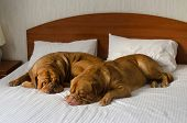 stock photo of dogue de bordeaux  - Dogue De Bordeaux funny couple in the bed - JPG