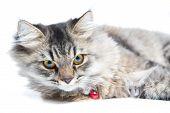 Close Up Of Persian Cat