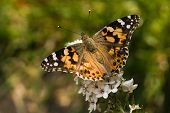 Butterfly Painted Lady On Gooseneck Loosestrife