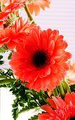 Red Transvaal Daisy